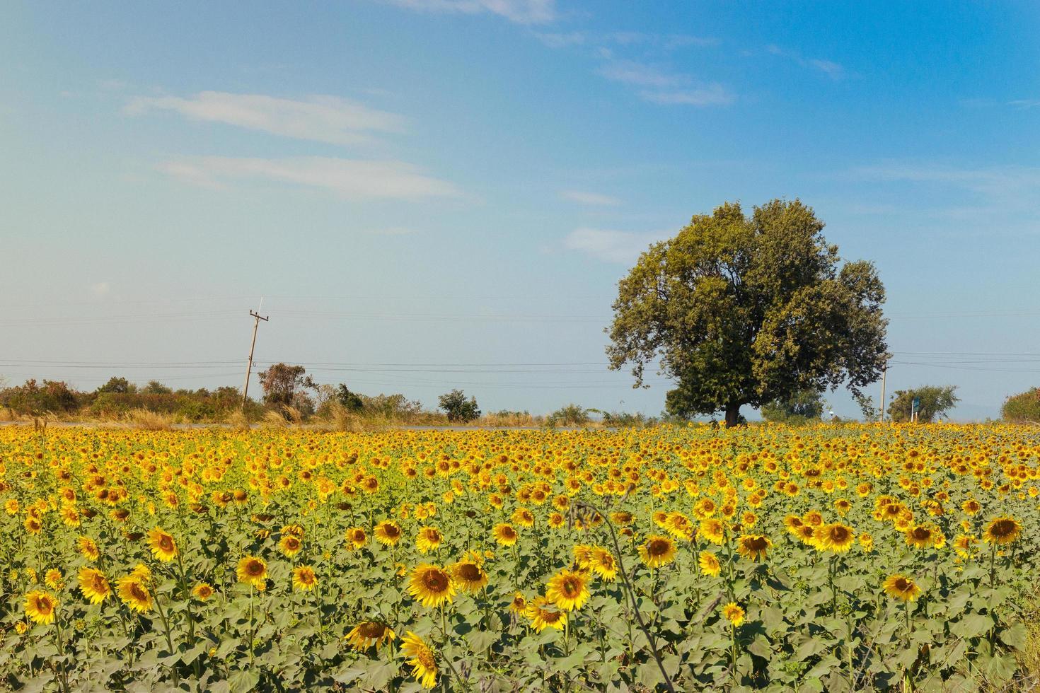 zonnebloem veld foto