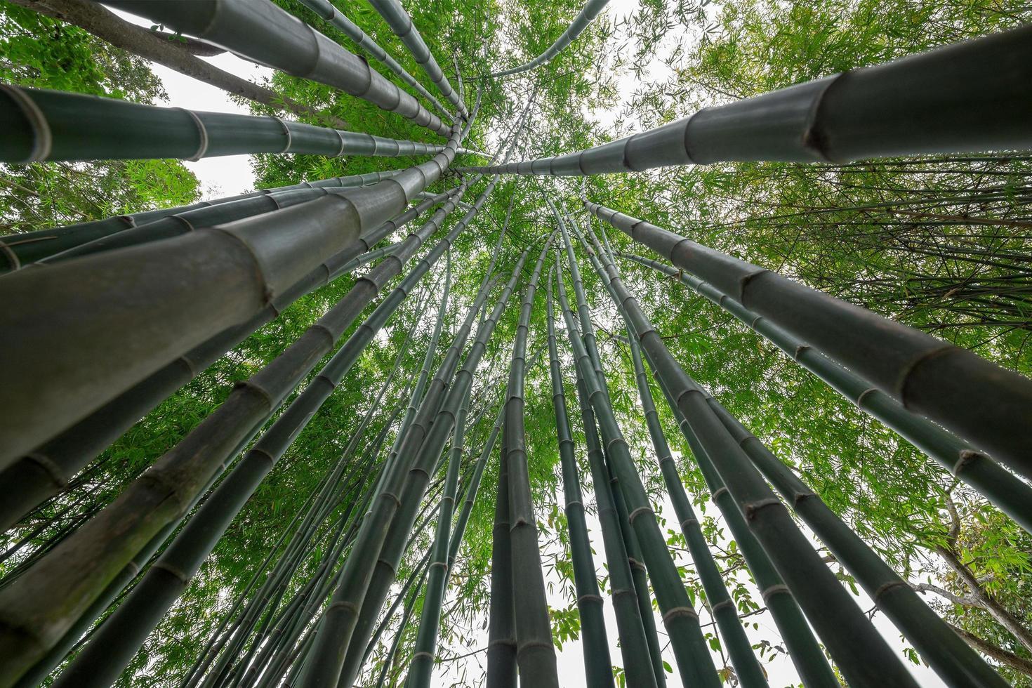 bamboe groen in het bos foto