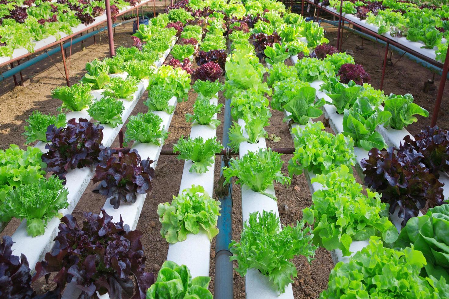 veld met rijen kropsla, kleurrijke volwassen klaar voor de oogst. foto