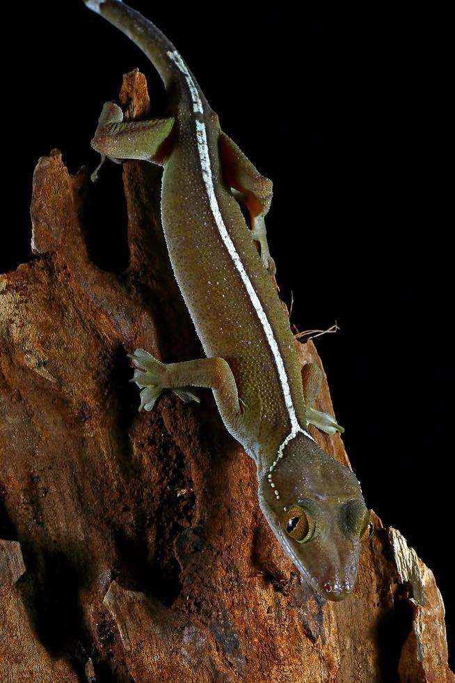 witte lijn gekko hagedis foto