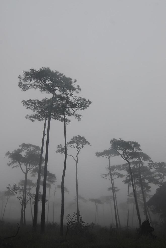 dennenbos in de mist foto