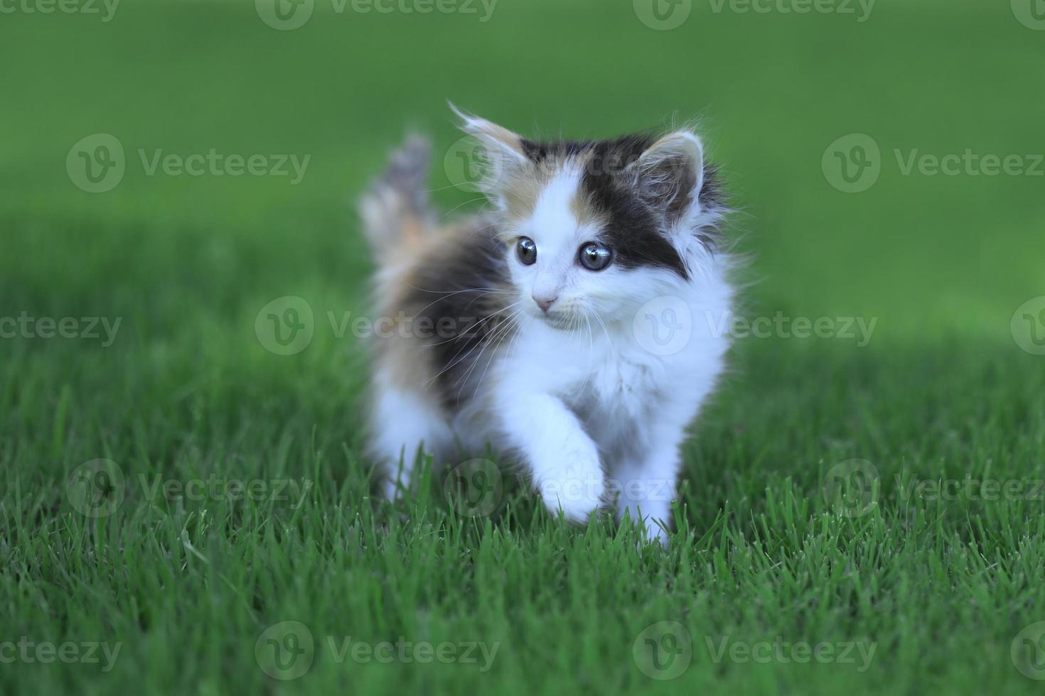 calico kitten buiten in het groene gras foto