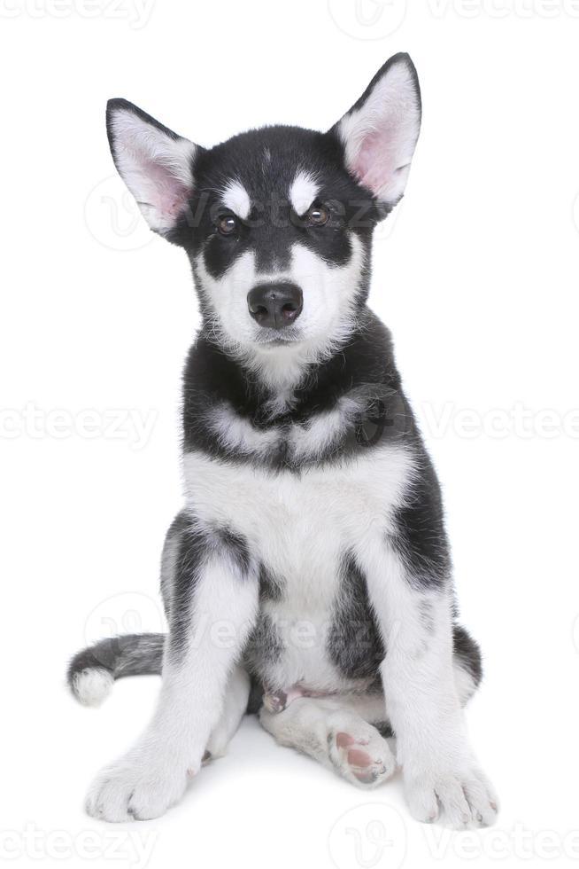Alaskan malamute puppy op witte achtergrond in studio foto