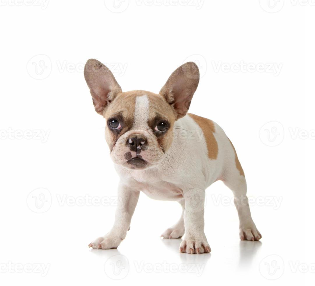 puppy op witte achtergrond foto