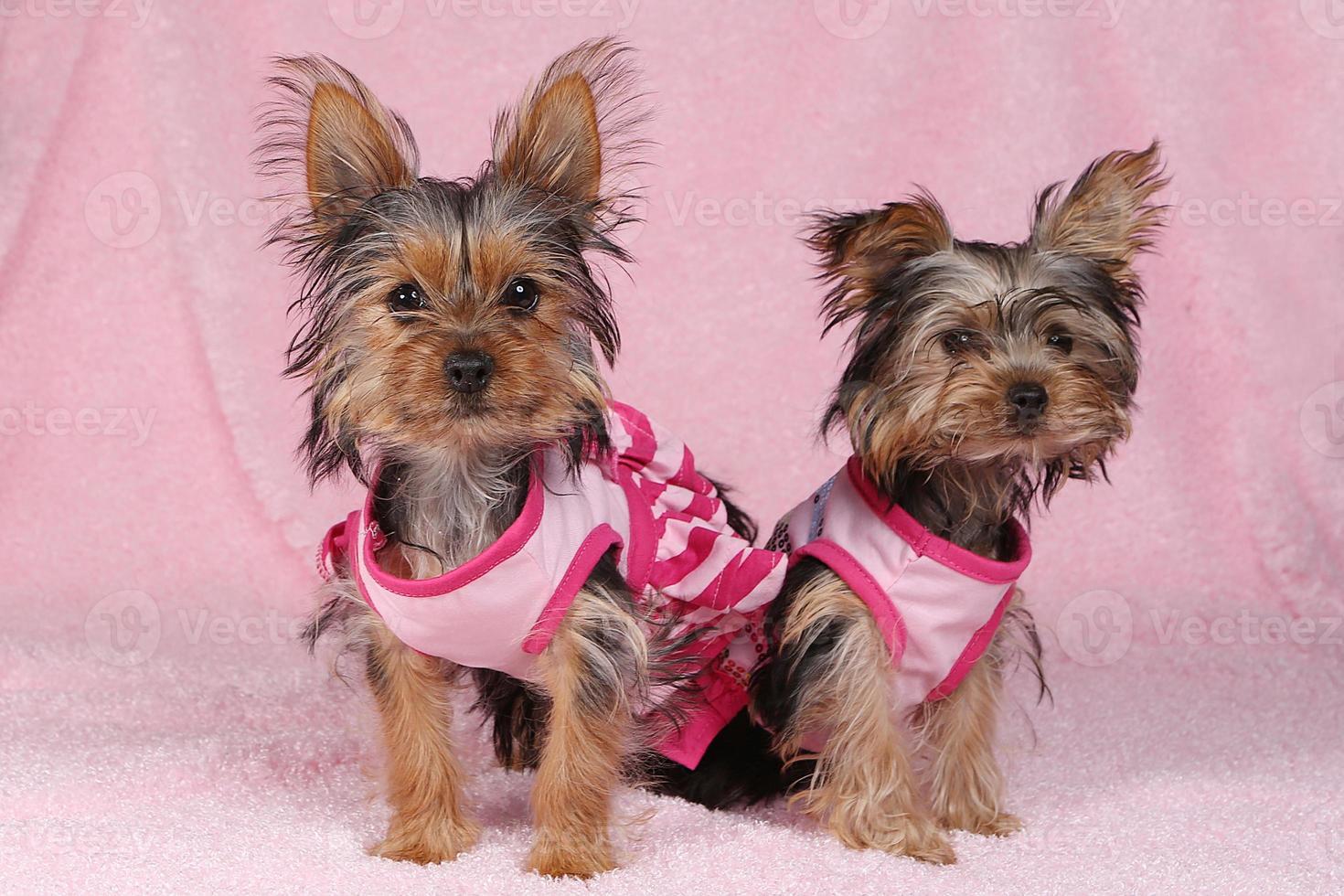 yorkshire terrier-puppy's gekleed in roze foto