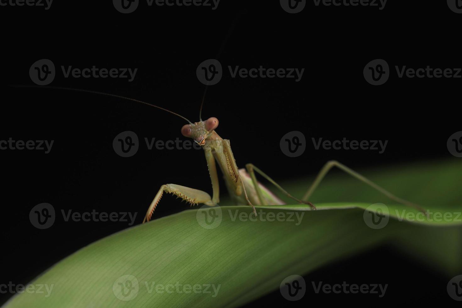 groene bidsprinkhaan op zwarte achtergrond foto
