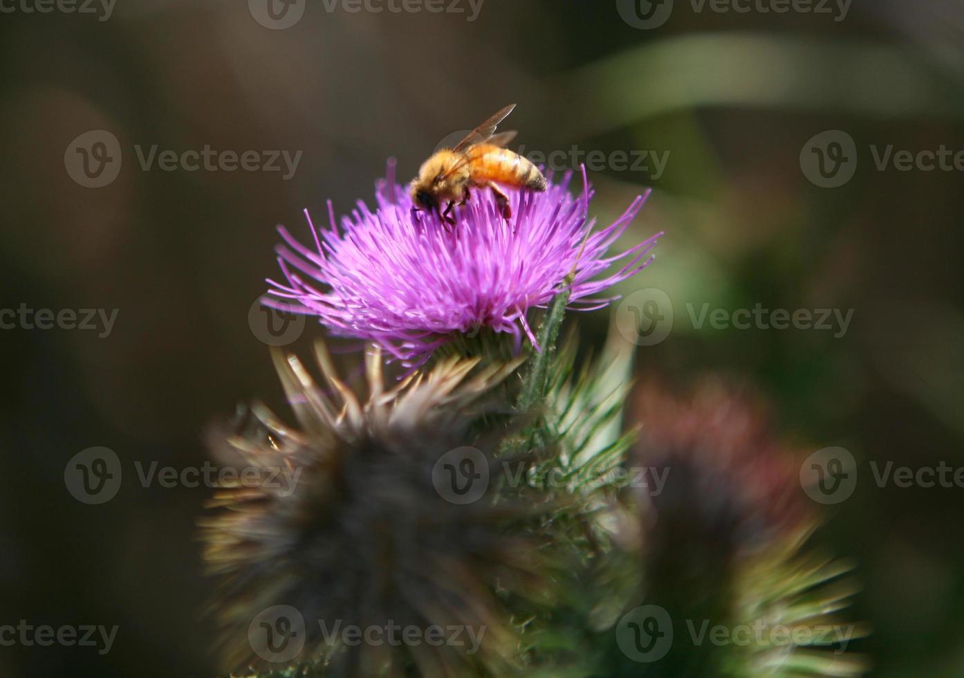 hommel op een paarse bloem met hoge dof foto
