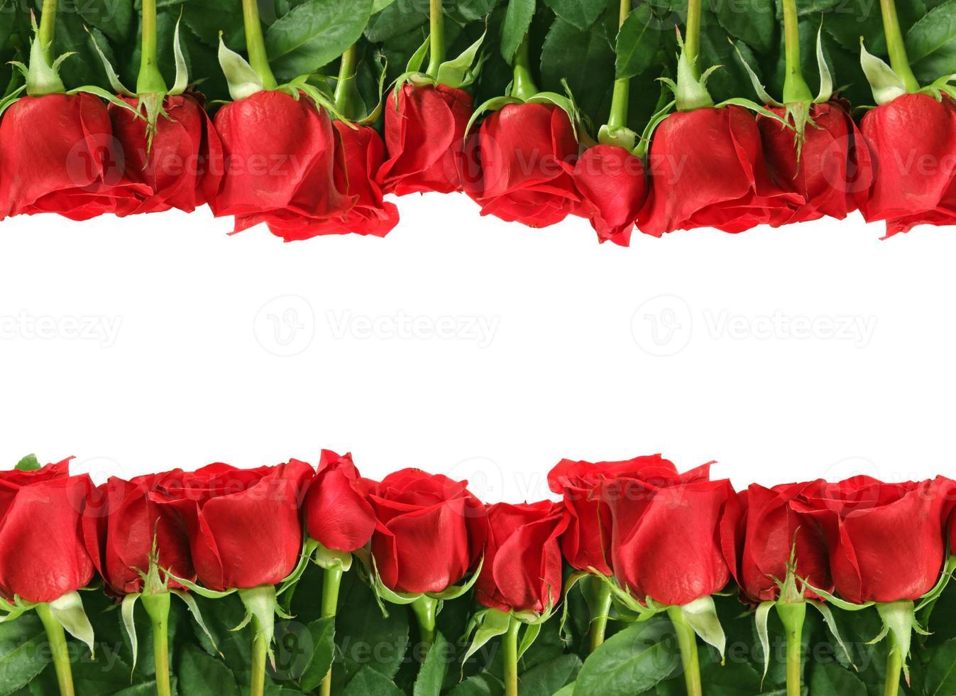 rijen rode rozen op wit foto