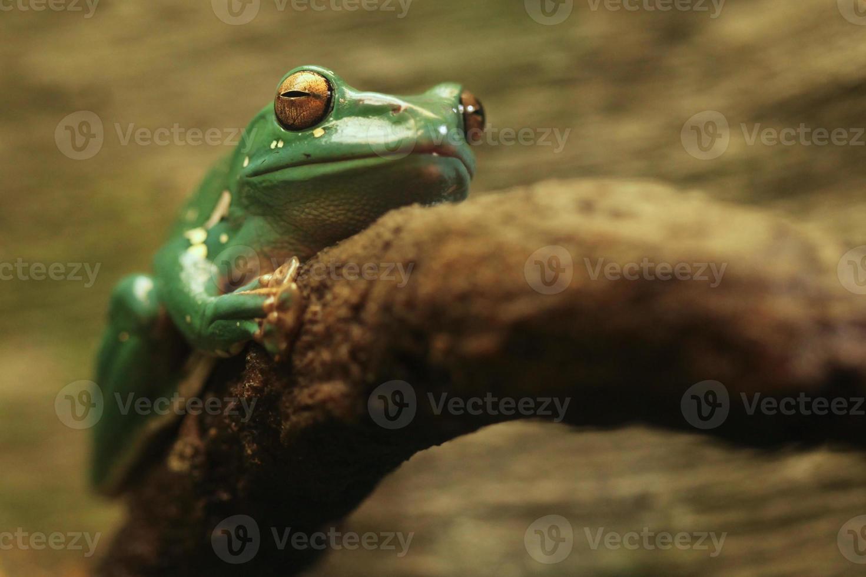 een Chinese glijdende kikker met gesloten ogen foto