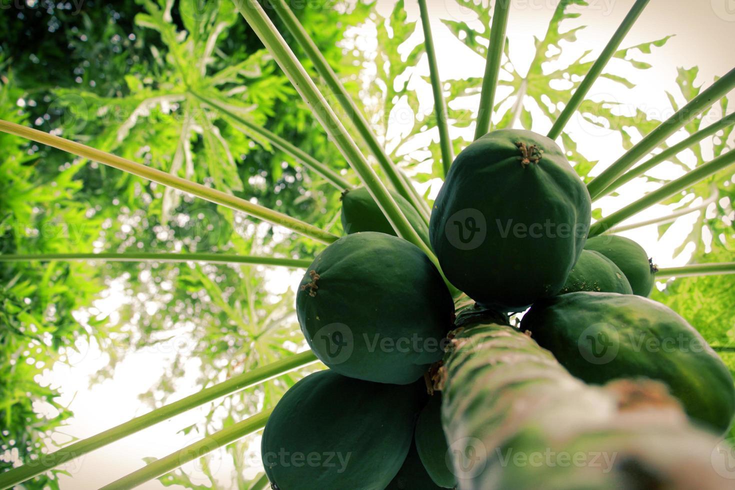 groene papajavruchten die aan de boom hangen foto