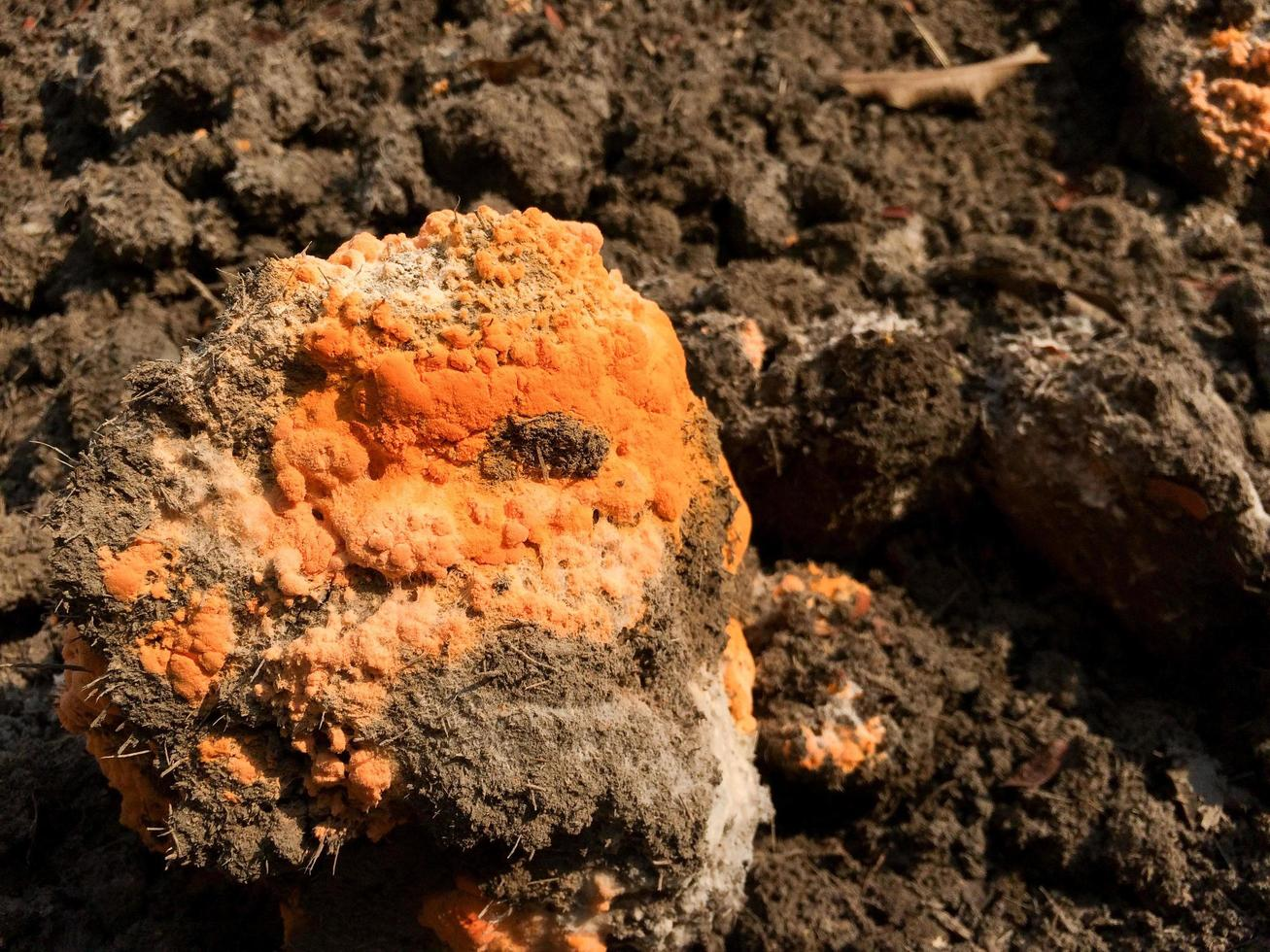 close-upschimmel of oranje schimmel groeit op een zwarte kunstmestheuvel en genereert humus door het fermentatieproces. fase van celdeling en sporenverdeling foto