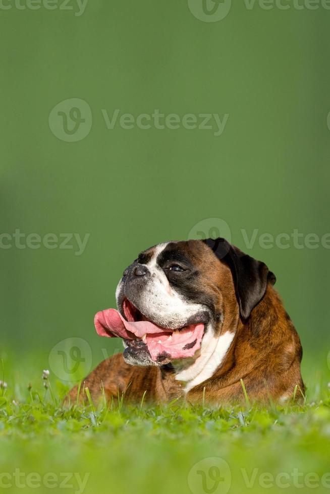 hond, Duitse bokser foto