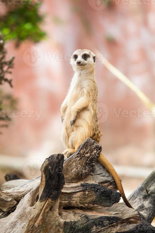 stokstaartje of suricate. foto
