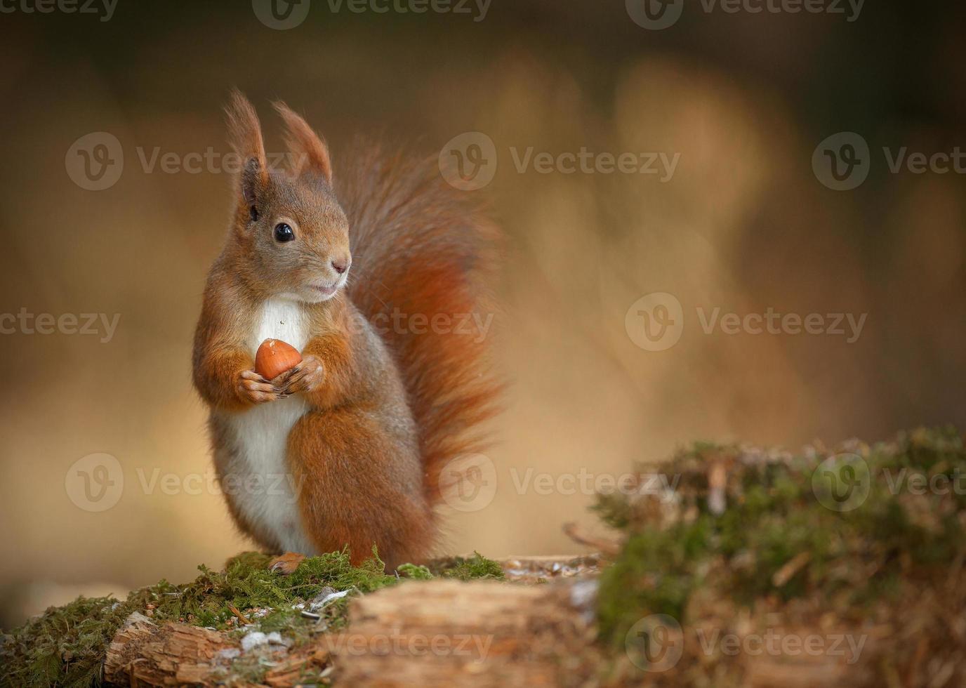 rode eekhoorn op zoek naar rechts foto