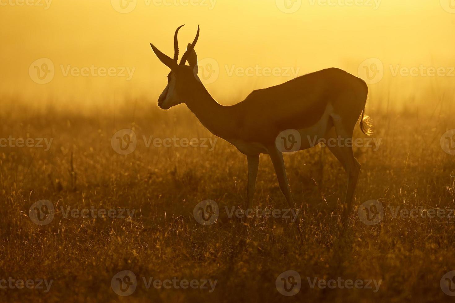 springbok bij zonsopgang foto