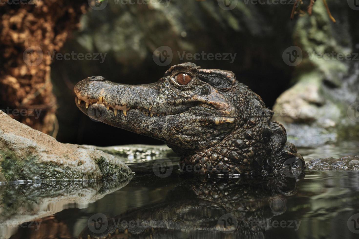 Kaaiman met gladde voorkant (paleosuchus trigonatus). foto