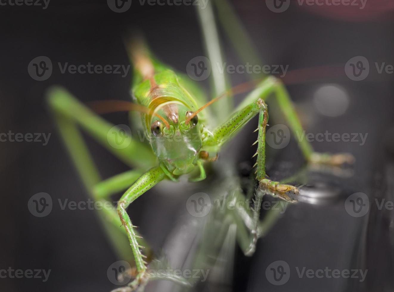 groene sprinkhaan foto