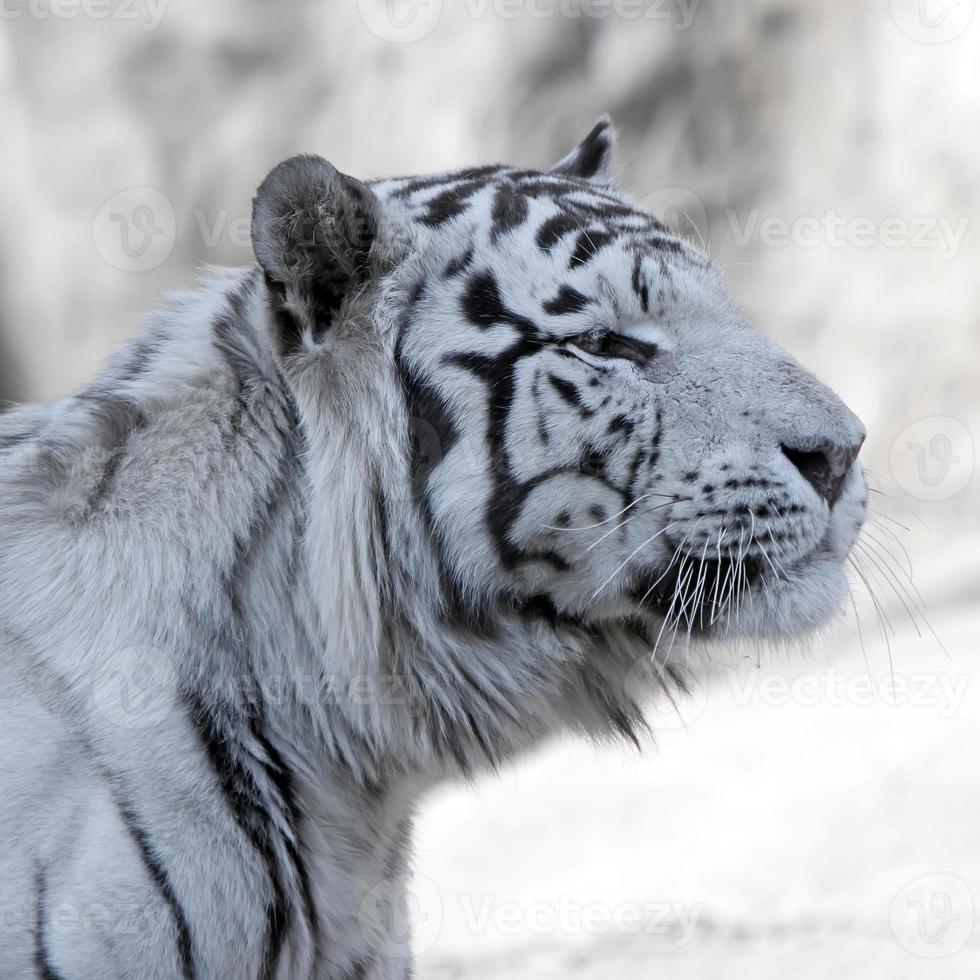 Bengaalse witte tijger foto