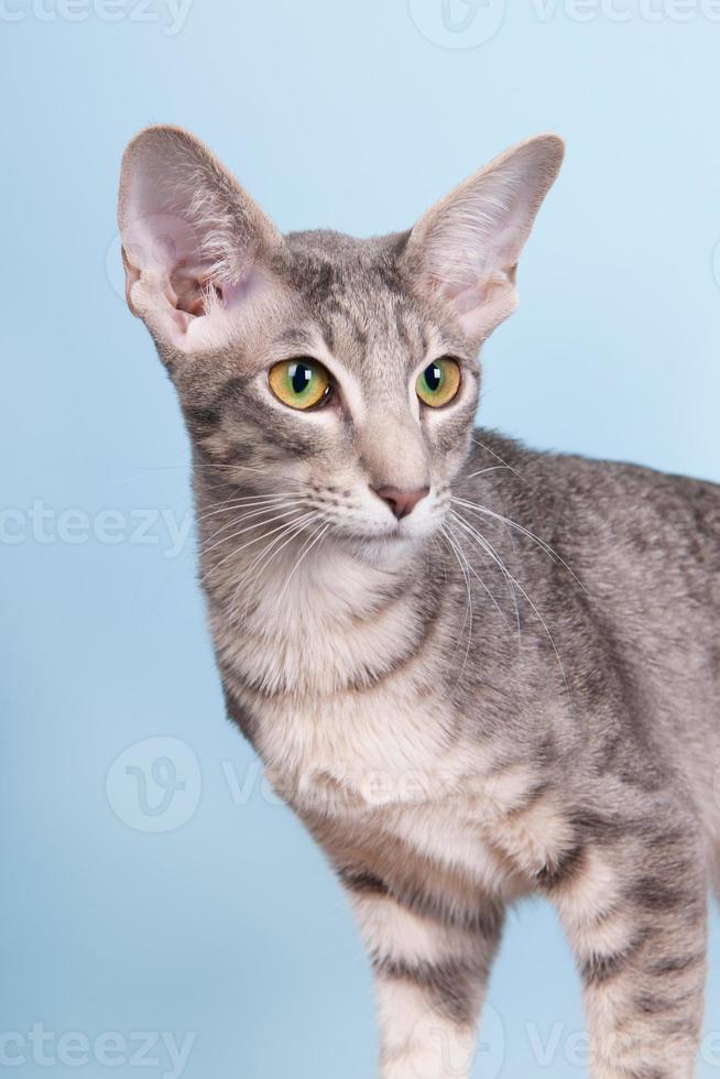 studio portret van zeehond tabby siamese kat foto