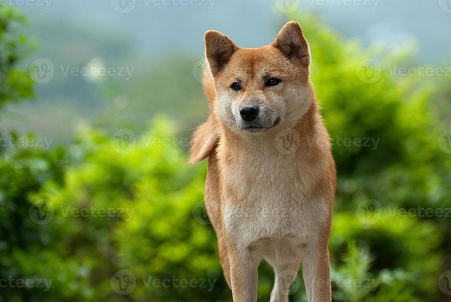 shiba inu hond fixeert zich op iets dat hij ziet foto