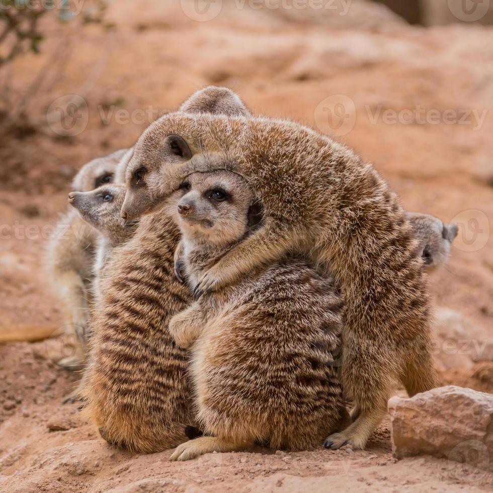groep stokstaartjes knuffelen foto