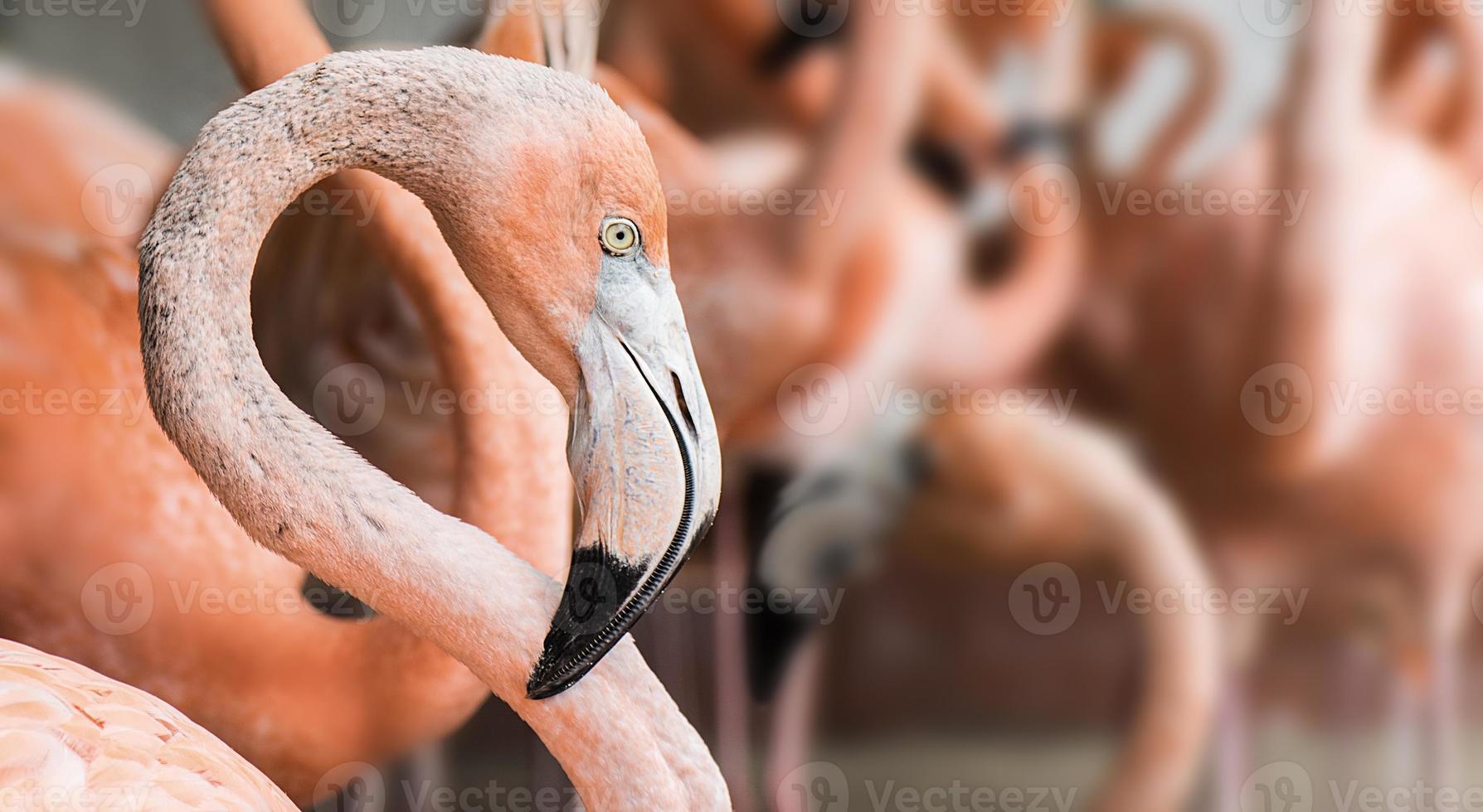 Amerikaanse flamingo foto