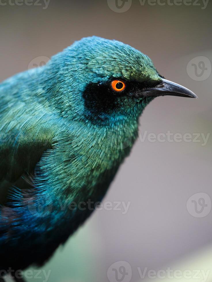 glanzende spreeuw vogel foto