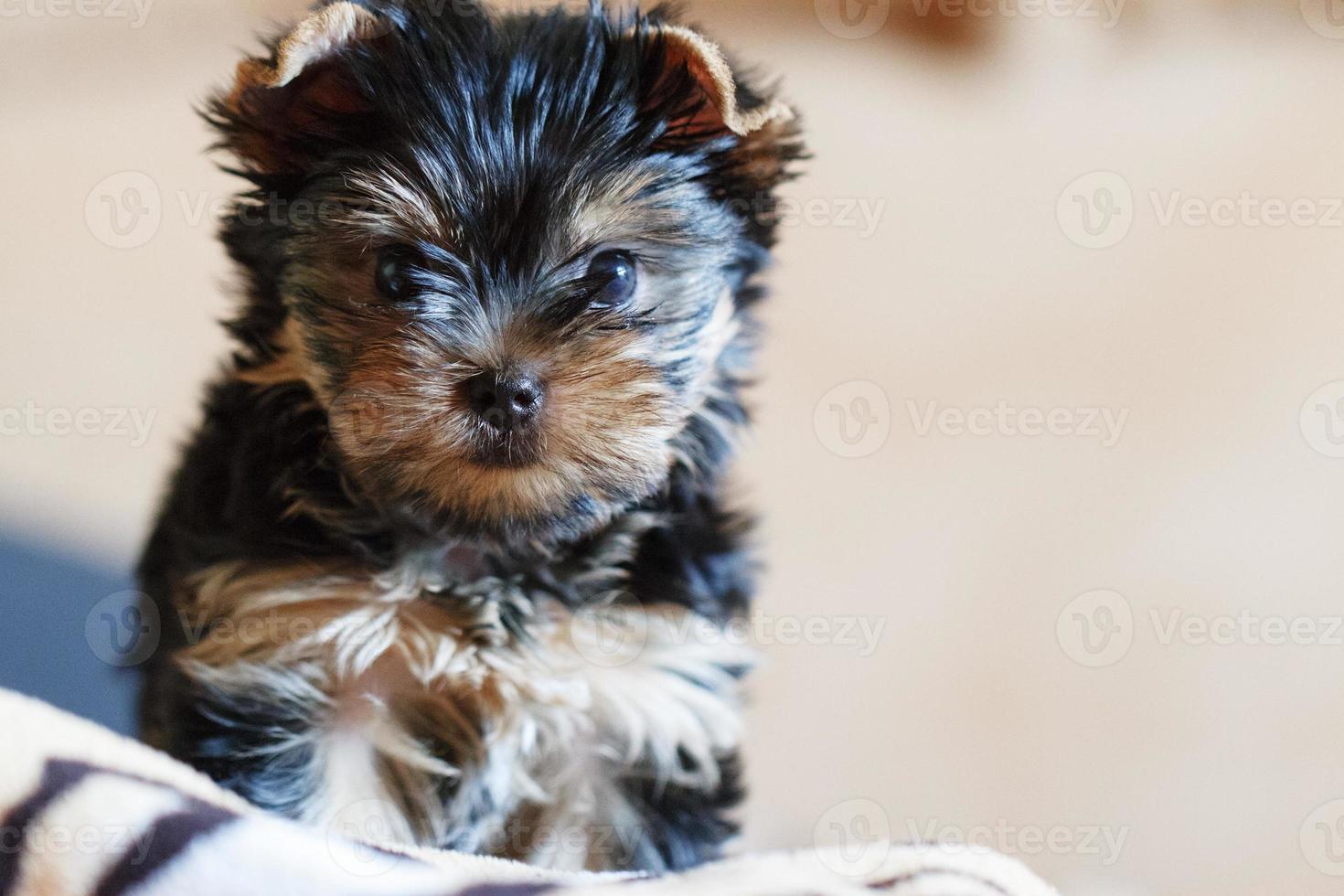 Yorkshire terrier zittend op de bank thuis foto