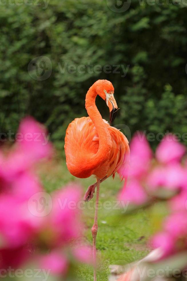 roze flamingo's foto