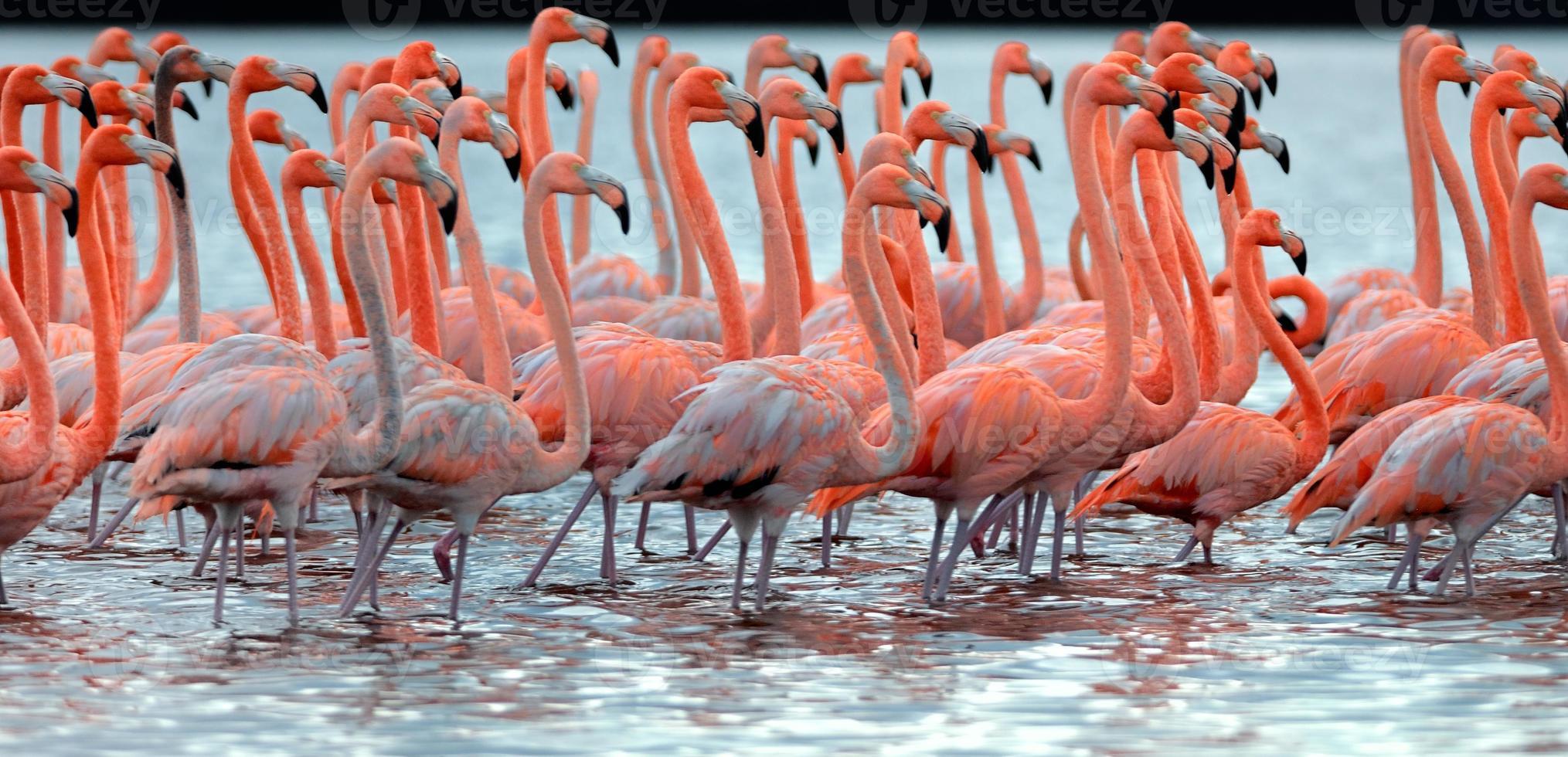 zwerm grotere flamingo's foto