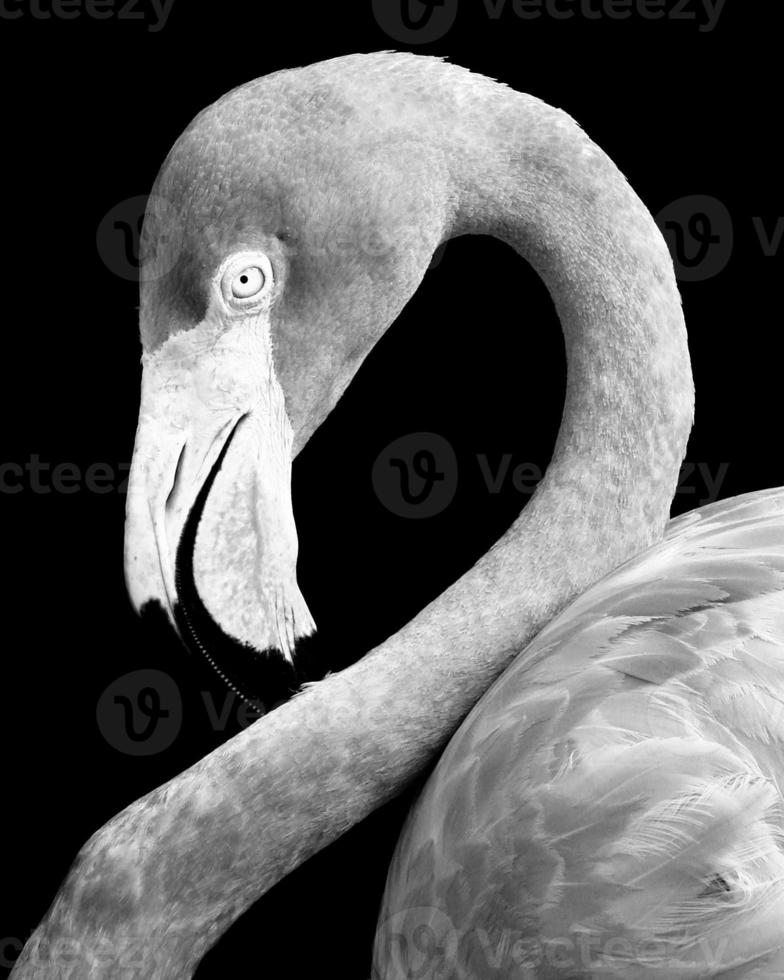 close up van een flamingo foto