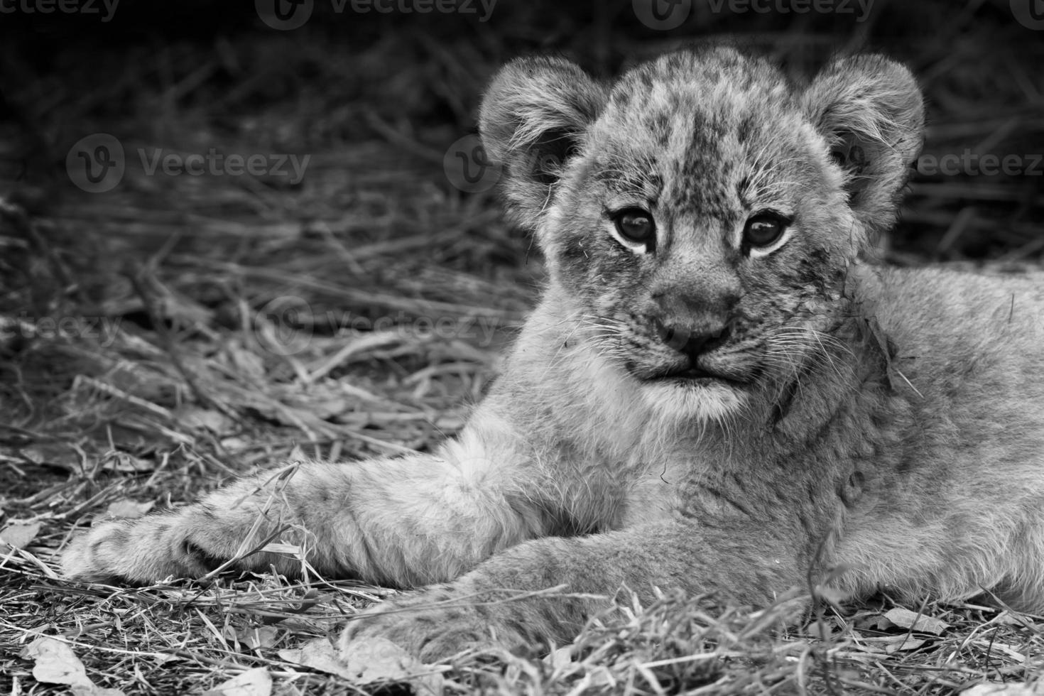 schattige leeuwenwelp foto