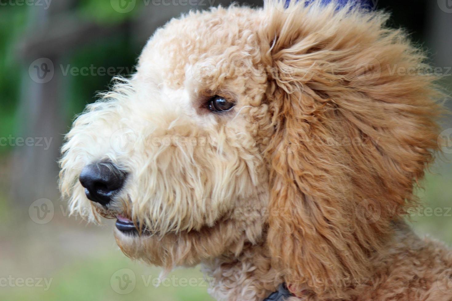 gouden doodle puppy - van dichtbij foto