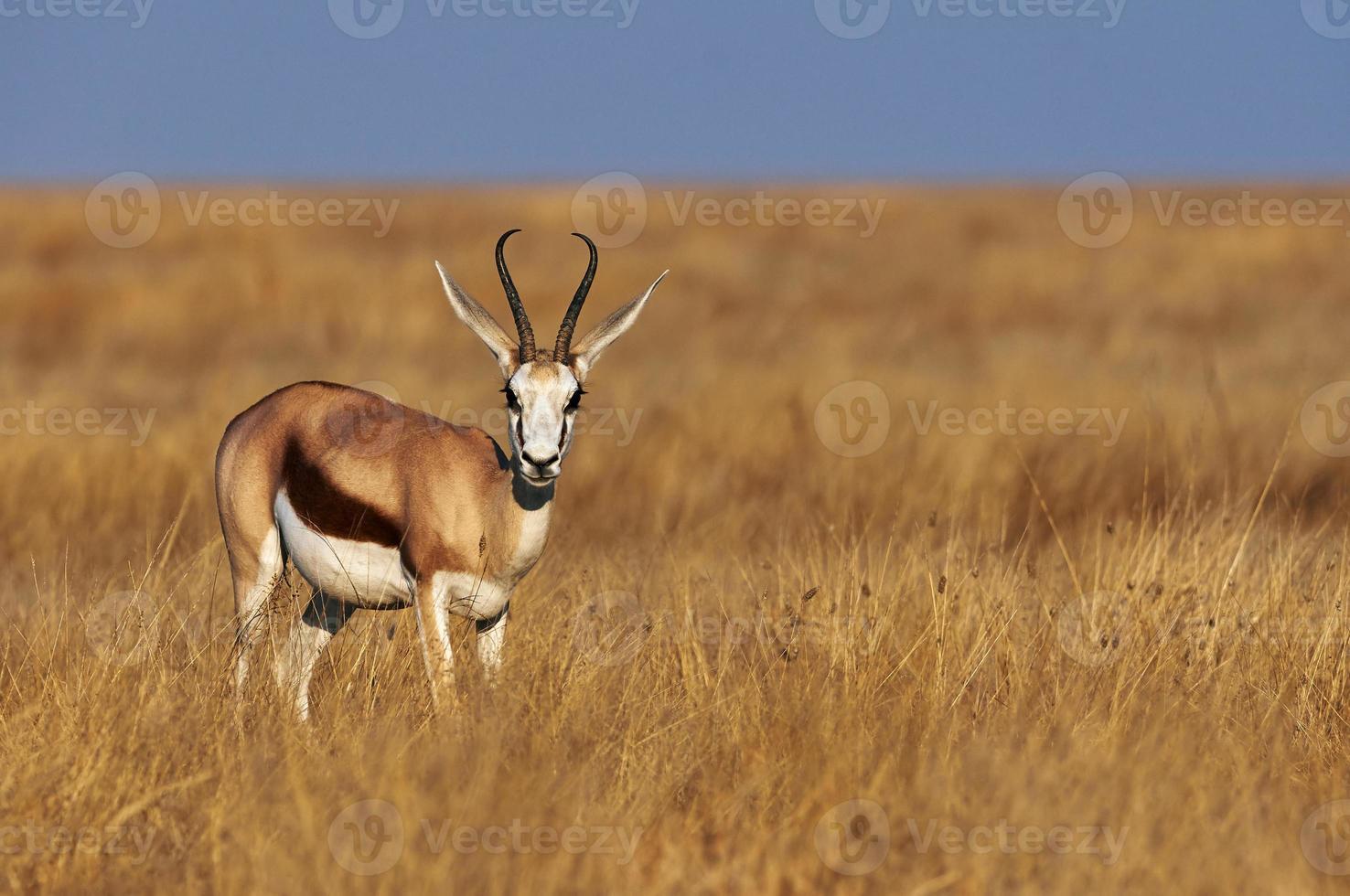 mannelijke springbok foto