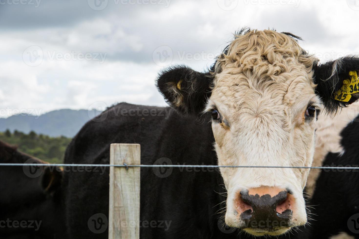 zwarte koe foto