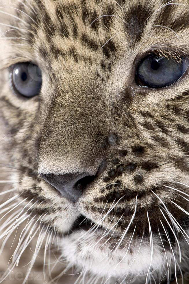 close-up op een persian leopard cub (6 weken) foto