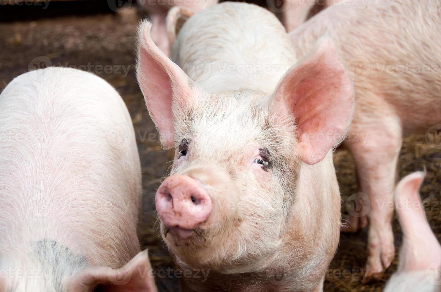varkens in varkensstal foto