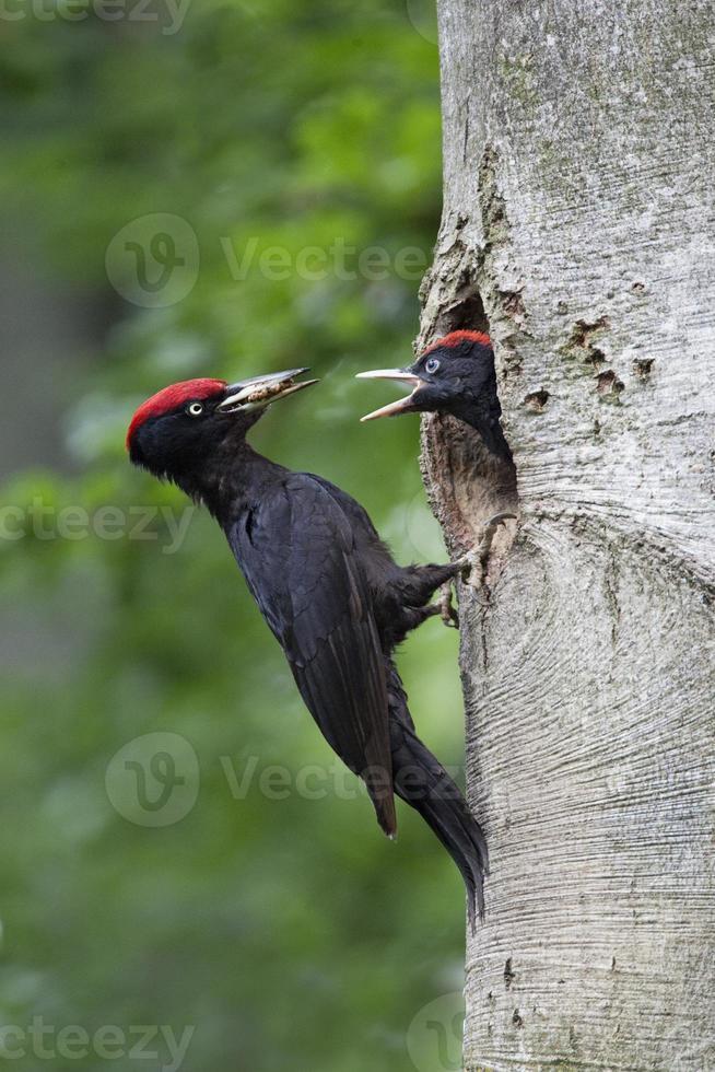een zwarte specht die jong in een boomgat voedt foto