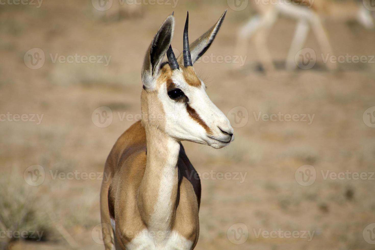 baby springbok, Zuid-Afrika foto