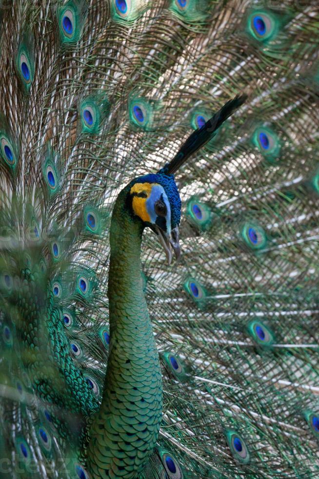 pauw pauw met zijn staartveren. dier in de dierentuin foto