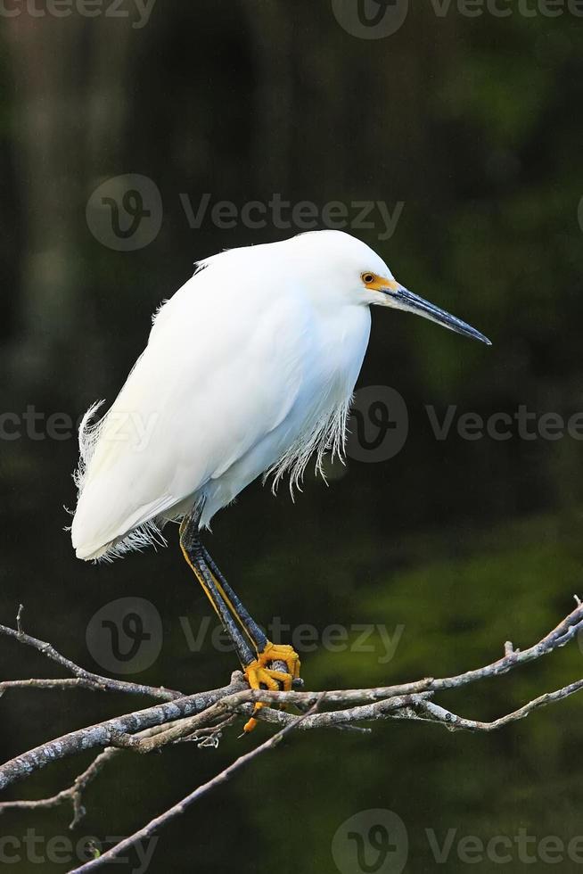 besneeuwde zilverreiger (egretta thula) foto