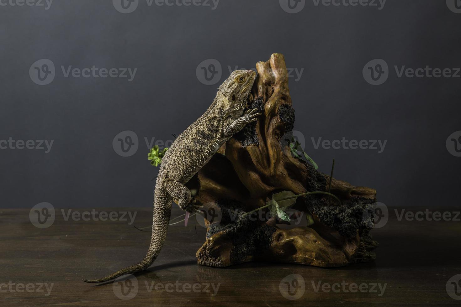 bebaarde draak-serie foto