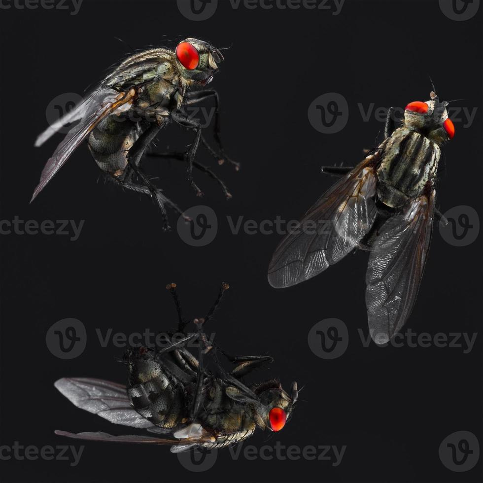 huisvlieg ingesteld op zwarte achtergrond foto