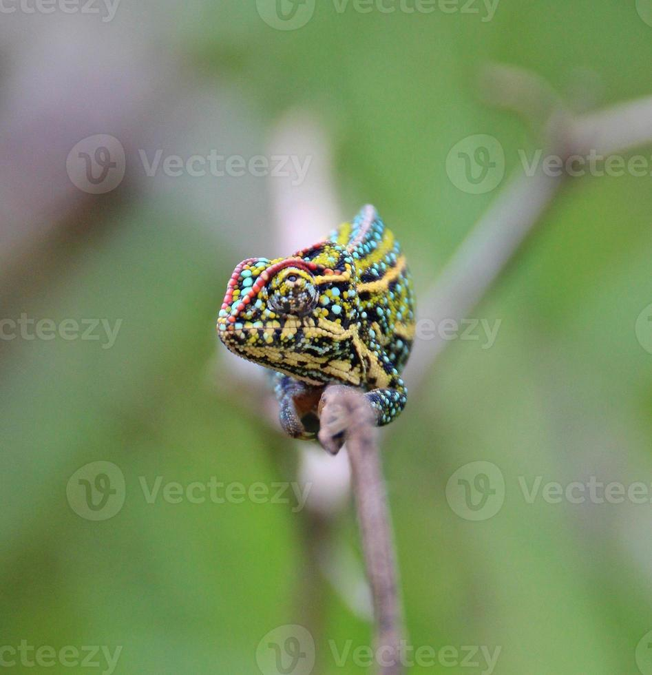 juwelen kameleon, Madagaskar foto