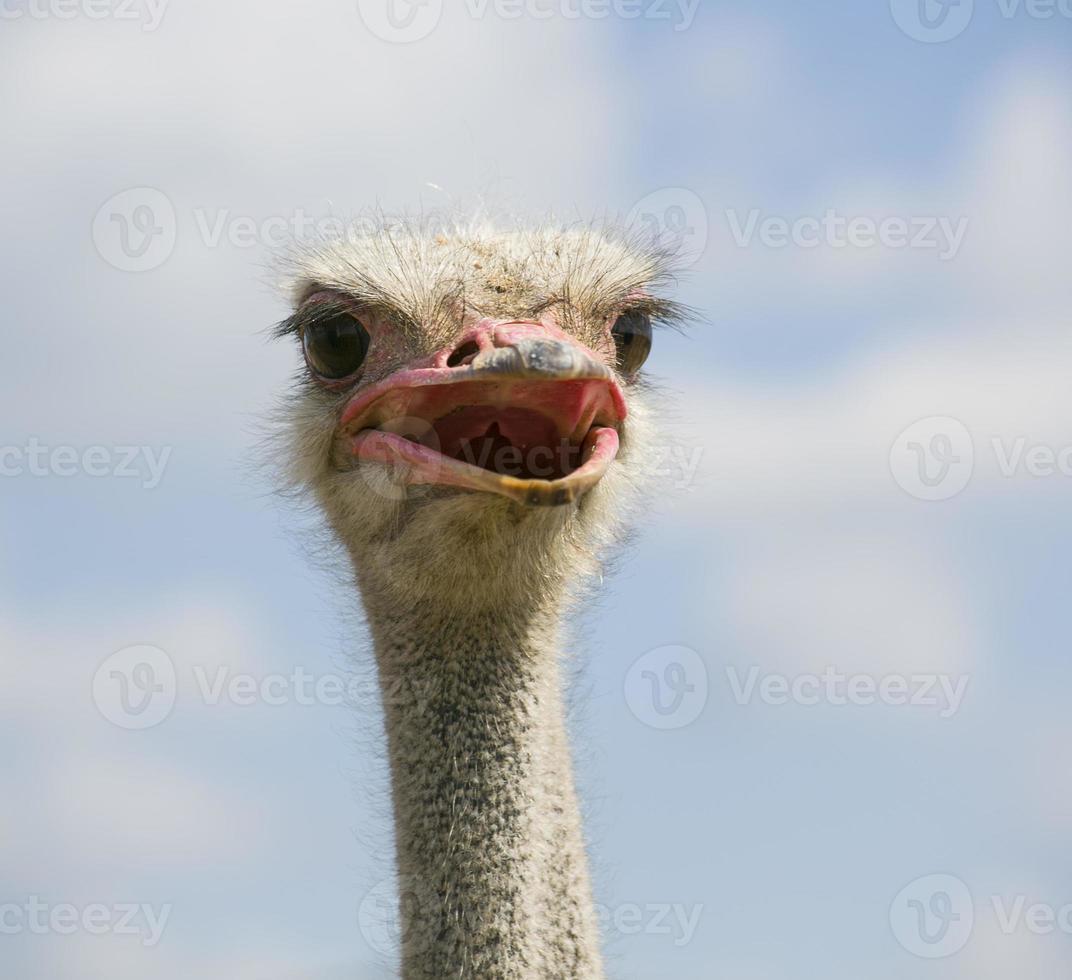 kop van een struisvogel foto