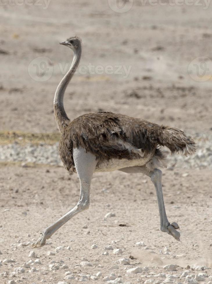 struisvogel die op rotsachtig gebied loopt foto