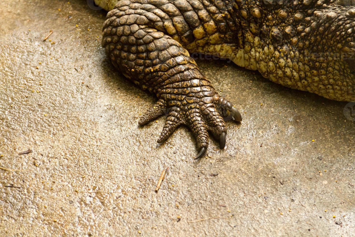 voet krokodil foto