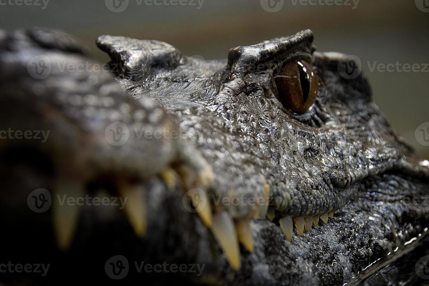 krokodil oog foto