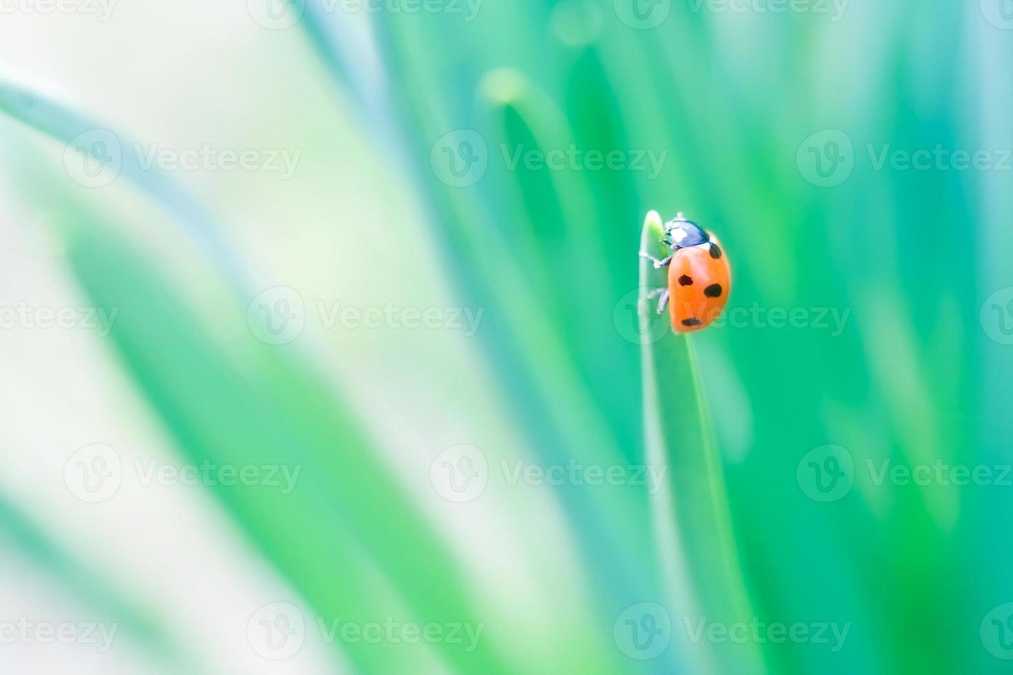 lieveheersbeestje macro foto