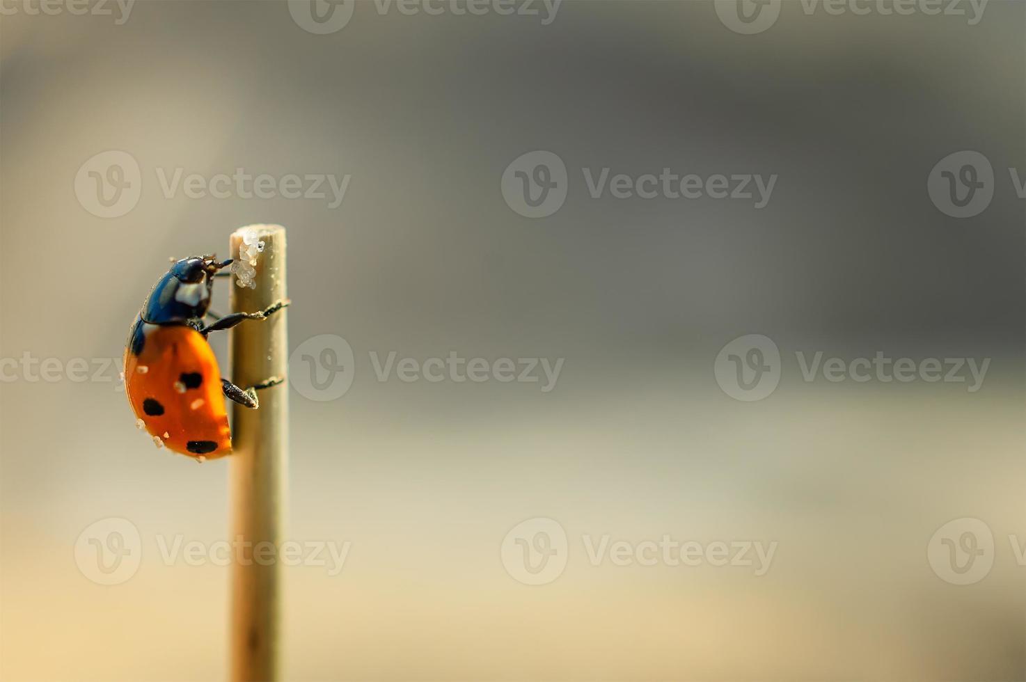 lieveheersbeestje dat de bovenkant van de droge stengel nadert. foto